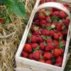 Frische Erdbeeren im Korb, 2003