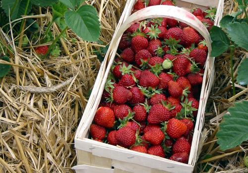 Erdbeeren 2003