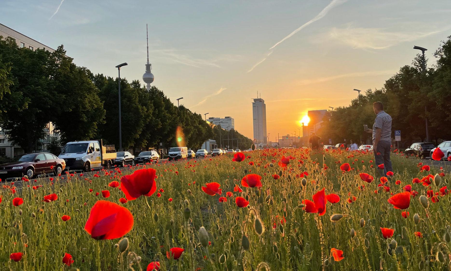 Mohnblumen im Sonnenuntergang Berlin