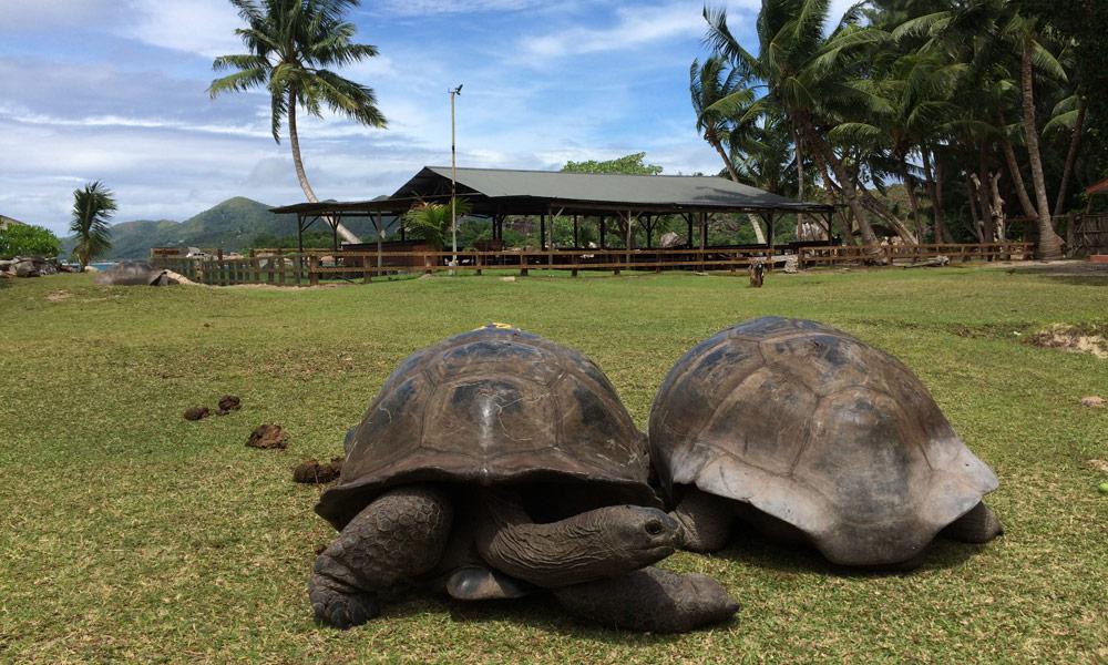 Riesenschildkröten auf Curieuse, Seychellen